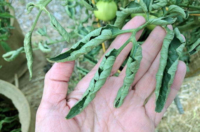 Фото болезней рассады томатов