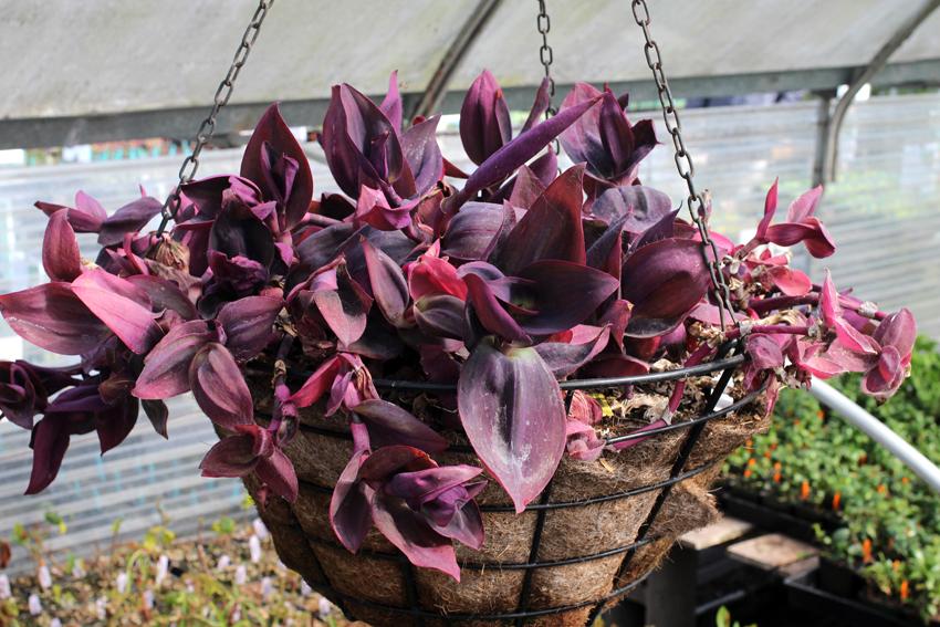 Сеткреазия пурпурная уход в домашних условиях