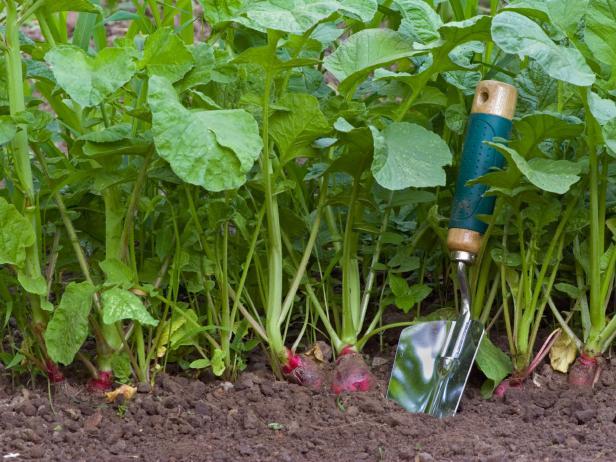 Выращивание семян редиса