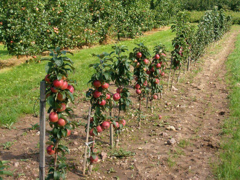 Яблоня Валюта описание сорта