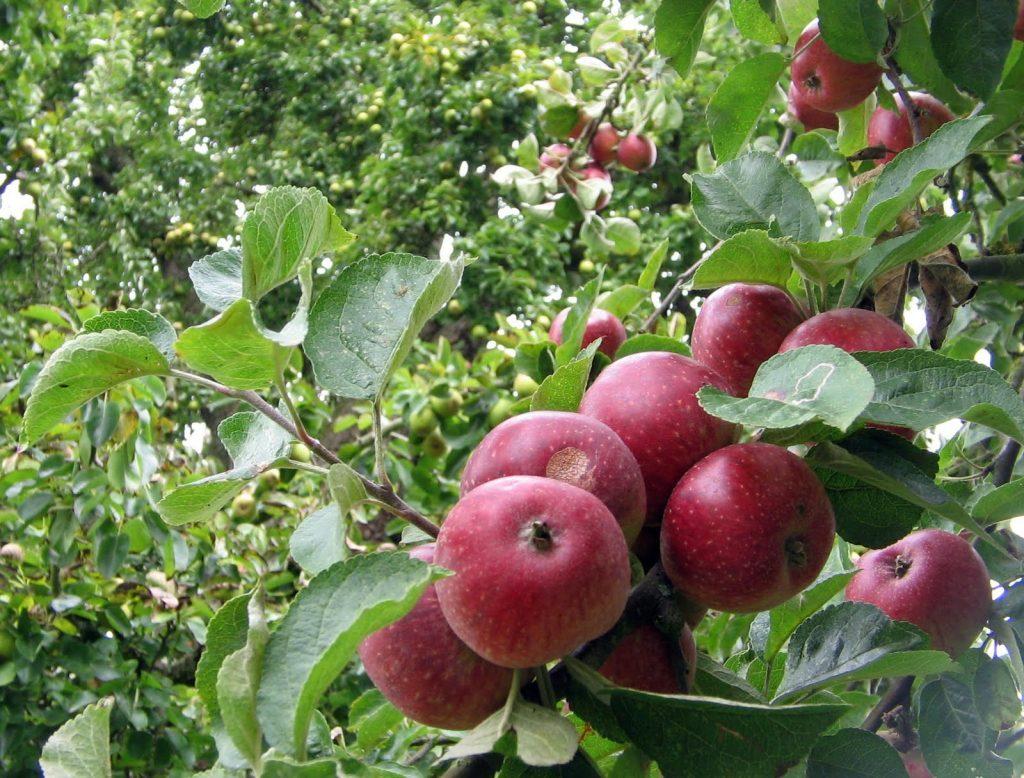 Яблоня сорт валюта фото