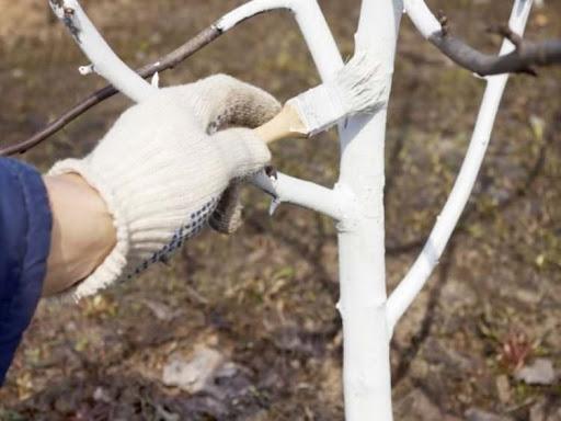 Побелка деревьев осенью от лишайника