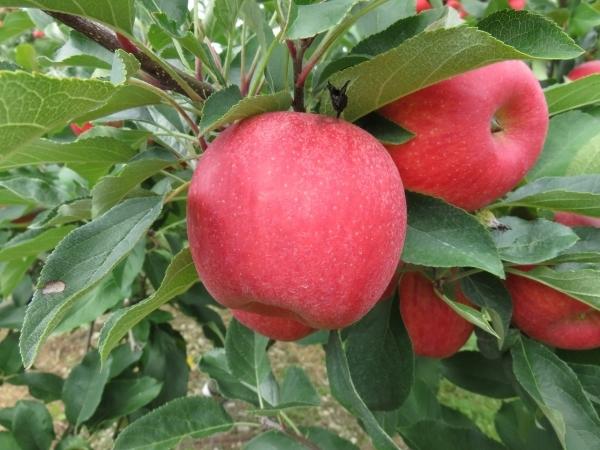 Зимние сладкие сорта яблонь