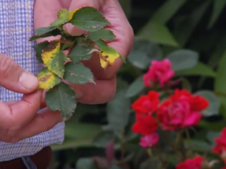 Болезни плетистых роз