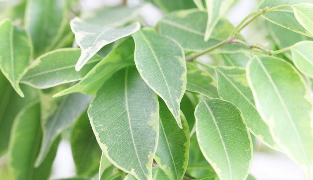 Фикус Бенджамина опадают листья: что делать?