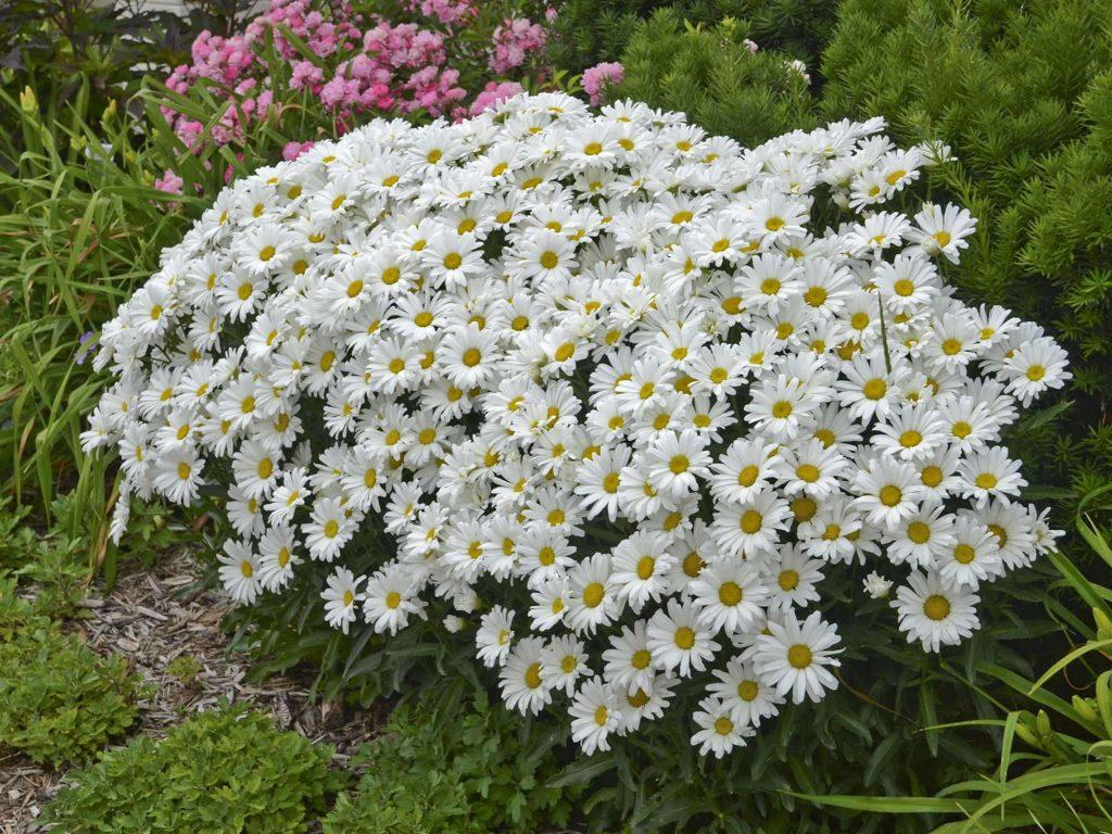 Нивяник фото цветов