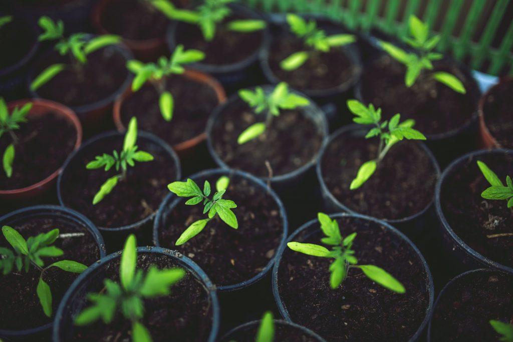 Выращивание рассады томатов пикировка
