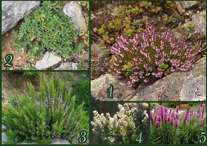 Растения для альпийских горок многолетние фото