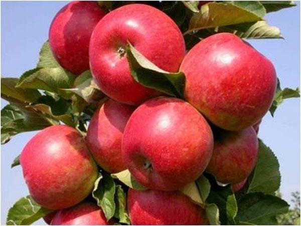 Колоновидные яблони для Подмосковья сорта